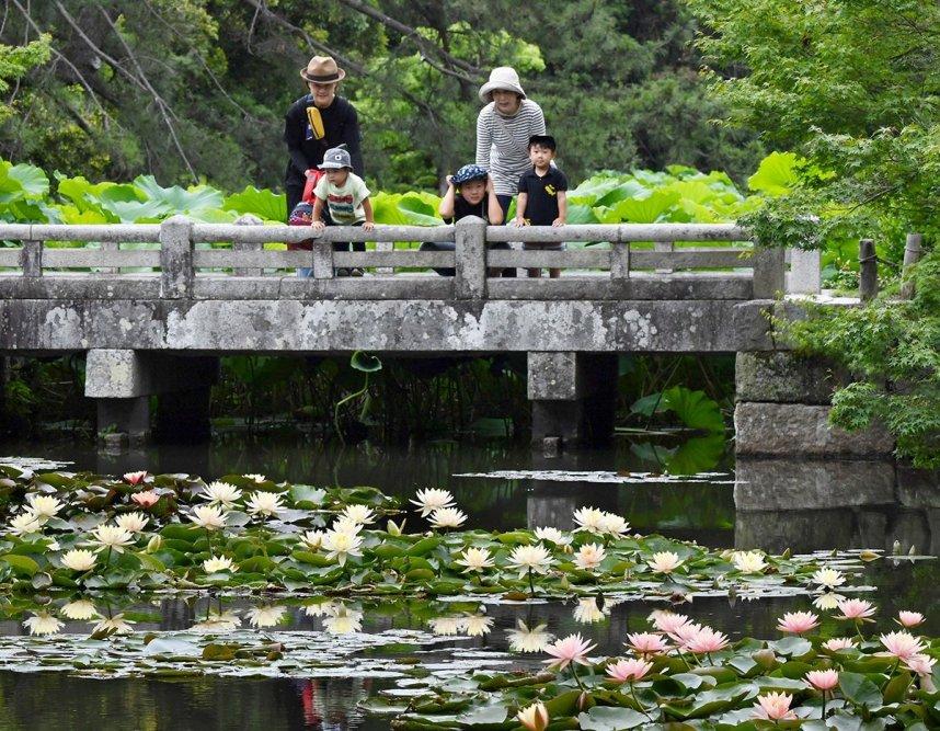 色鮮やかな花を咲かせ、来園者を楽しませるスイレン=香川県高松市、栗林公園