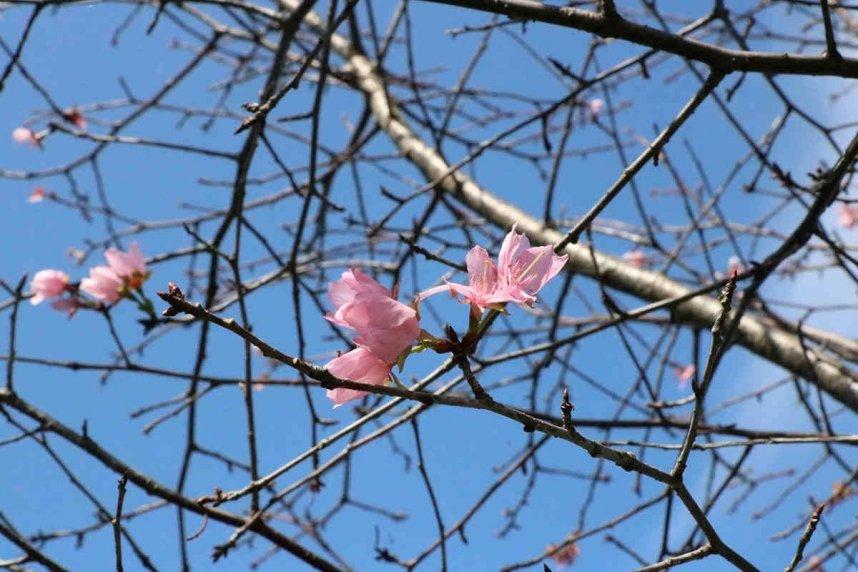 かわいらしいピンク色のオオヤマザクラ=善通寺市吉原町、善通寺五岳の里・市民集いの丘公園