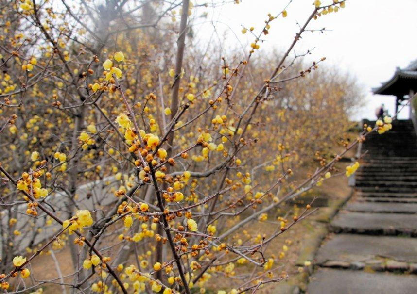 枝いっぱいに黄色い花を咲かせているロウバイ=香川県三豊市豊中町、延命院