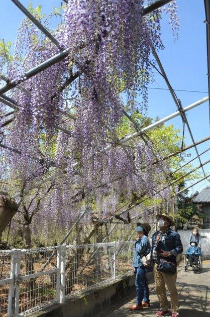 境内を薄紫色に彩る孔雀藤=香川県高松市飯田町、岩田神社