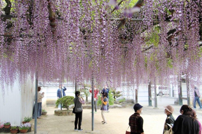 長短さまざまな花房が美しく垂れ下がるフジ=三豊市財田町、萬福寺